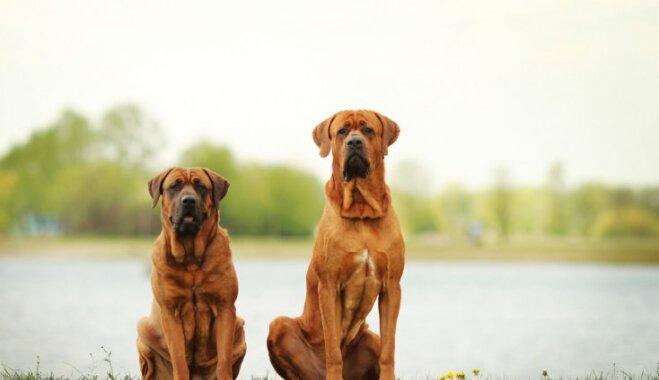 Septiņi interesanti suņi, kurus ik uz soļa noteikti nesastapsi