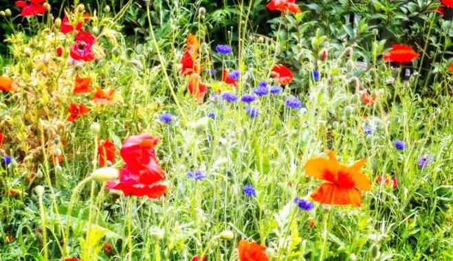 Retie un aizsargājamie augi, ko nedrīkst pīt Jāņu vainagā vai likt vāzē