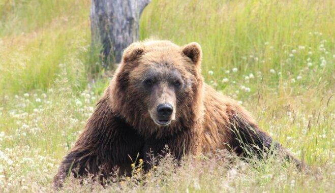 Somu un igauņu biškopjus izaicina lāči – stropu postītāji