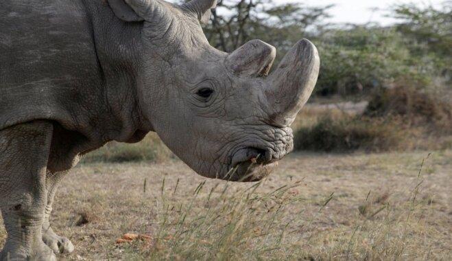 И носорог тоже. 10 видов животных, вымерших за последние 20 лет