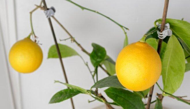 No sēklas audzēta citronkoka potēšana – kā to darīt mājas apstākļos