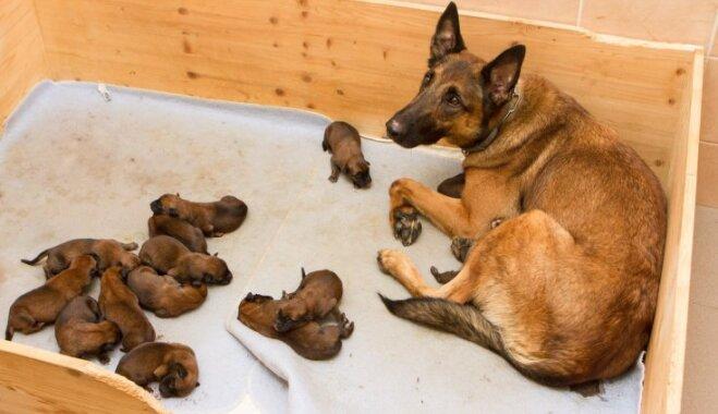 Valsts robežsardzes koledžas dienesta sunim piedzimuši 14 kucēni