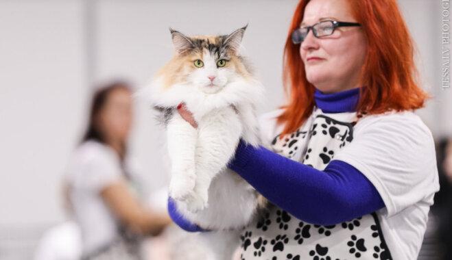 Starptautiskā kaķu izstādē Rīgā noskaidroti labākie peļu junkuri