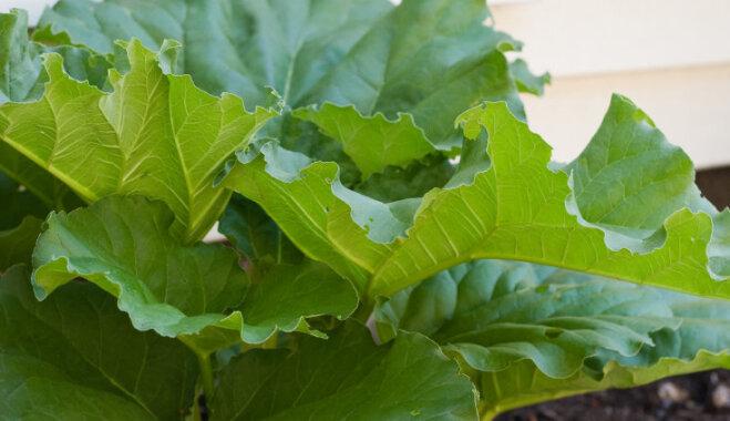 No rabarberu lapām gatavots līdzeklis dārza insektu apkarošanai