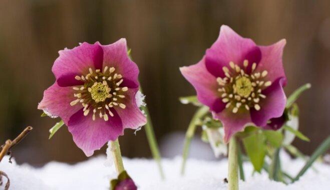 Kupenās plaukstošais zieds – sniega roze