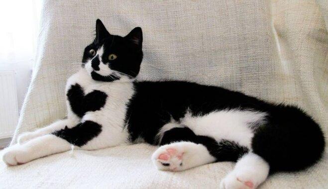 Kaķenīte Zoja, kas kļuvusi slavena ar īpašu sirsniņu kažokā