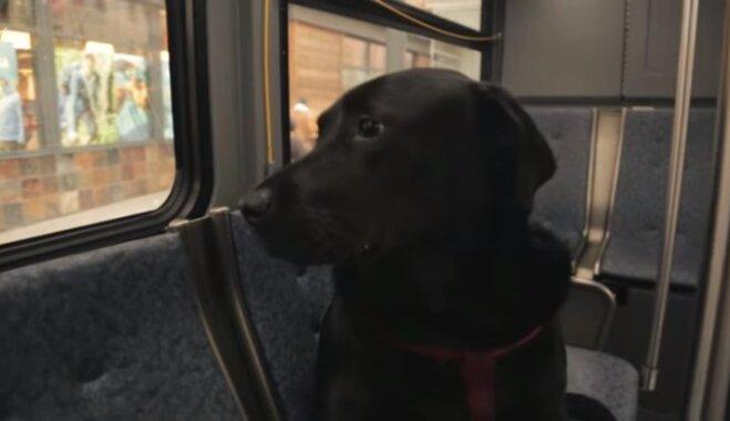 Neatkarīgā suņu meitene Eklipse, kura vienatnē vizinās ar autobusu ASV
