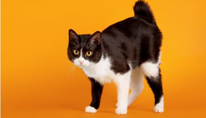 Piecas burvīgas kaķu šķirnes, kuru lepnums – 'lūša' ļipiņa