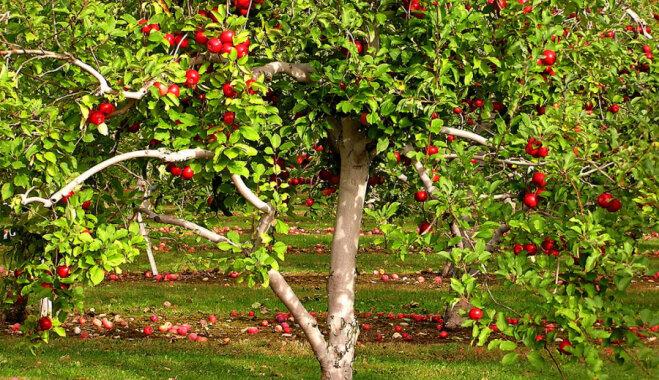 Krietnam ābeļdārzam: ieteicamās šķirnes Latvijas klimatiskajiem apstākļiem