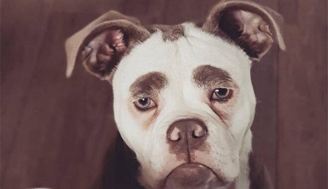 Jaunkundze ar uzacīm – neparastā suņu meitene, kas izskatās kā klauns
