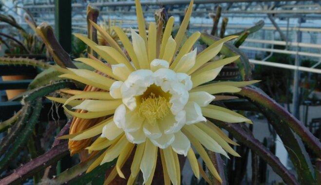 Foto: Salaspils botāniskajā dārzā krāšņi uzziedējusi 'Nakts karaliene'