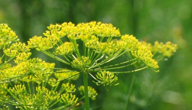 Smaržo un arī garšo labi – seši ēdamie augi vēderpriekiem