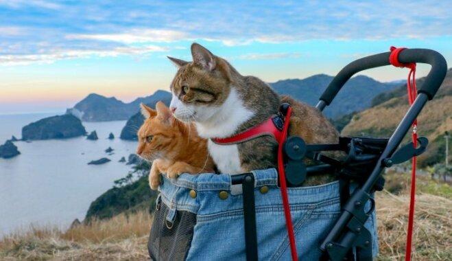 Foto: Ceļojošie japāņu kaķi, kas sajūsminājuši pasauli