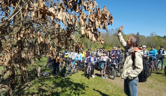 Aicina piedalīties velobraucienā un iepazīt Salaspils novada dižkokus