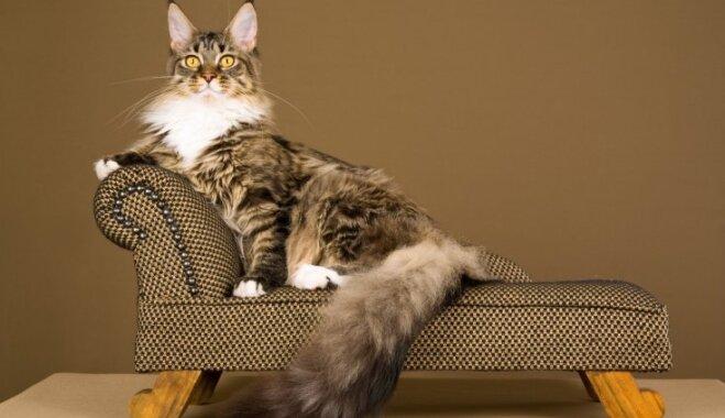 Kaķu šķirnes - meinkūns