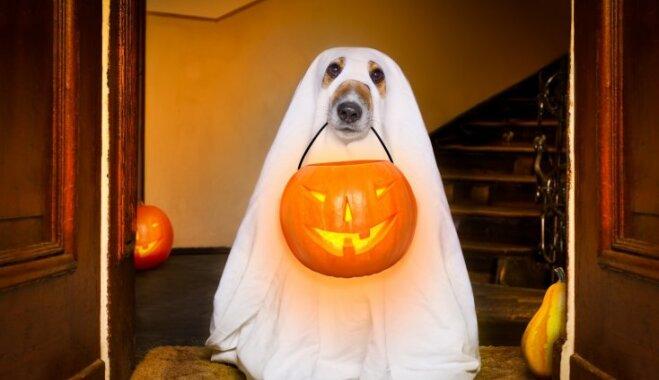 Konfektes vai izjokosim: idejas mājas mīluļa Helovīna tērpam