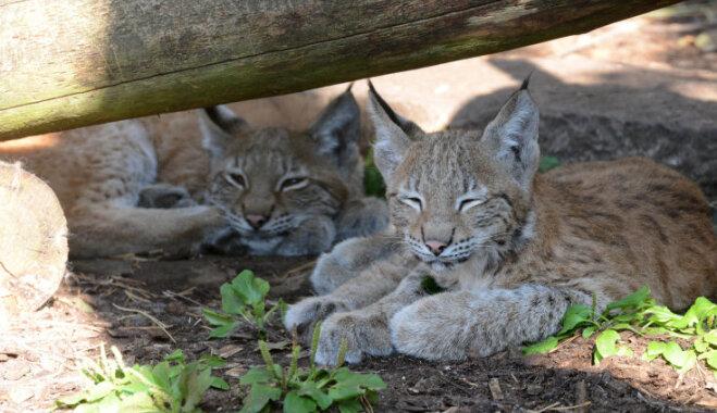 Īpašā svētku noskaņā tiks paziņoti Rīgas zoodārzā šopavasar dzimušo lūsēnu vārdi