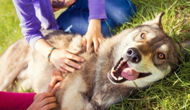 Kāpēc suns spārdās, kad viņam kasa vēderu