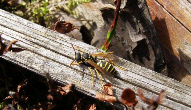 Entomologs Dmitrijs Teļnovs: lapseņu šogad nav kļuvis vairāk