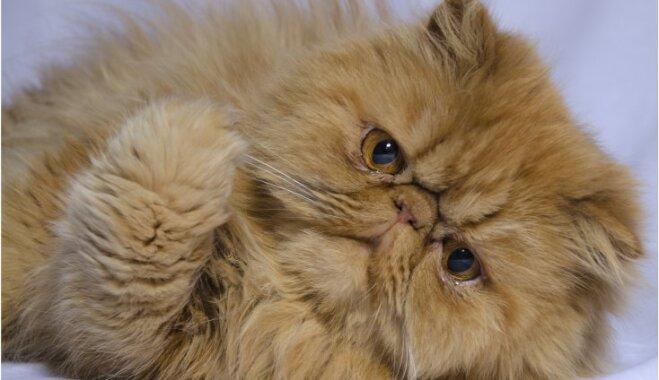 Kādēļ kaķis atvemj spalvas kamolus un kā šo problēmu mazināt?