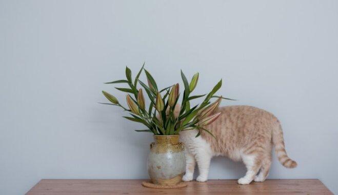 Lai skaistums nerada postu: kaķim indīgie augi, kas var izraisīt pat nāvi