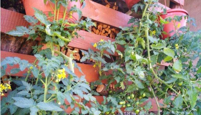 Iedvesmas deva: četri radoši veidi, kā audzēt tomātus