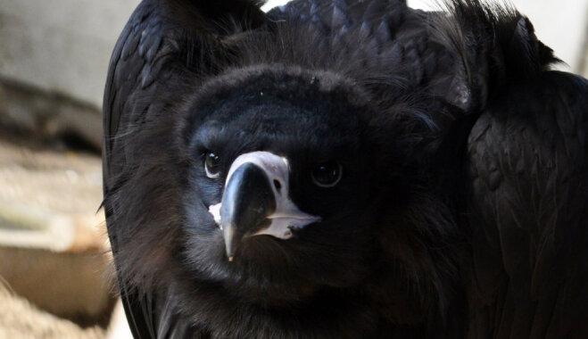 Rīgas zoodārzā aizkavējušies pingvīni aicina uz 'Dzīvnieku dienām'