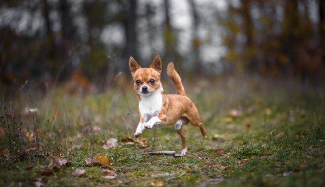 Pieci mazie suņi, kuri būs lieliski kompanjoni garos pārgājienos