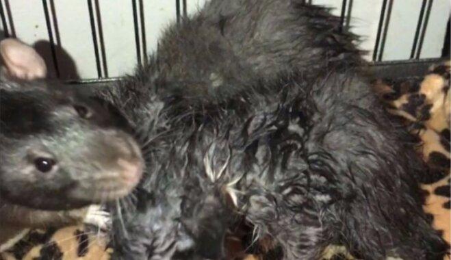 Žurkas kā aukles – grauzēji uzņēmušies rūpes par kaķēniem kafejnīcā ASV