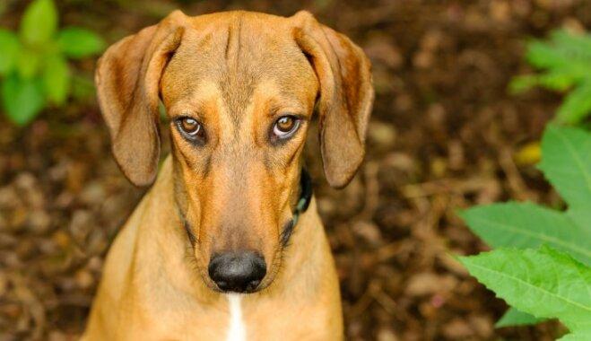 Nekādu noslēpumu! Būtiski mīti un patiesība par suņiem