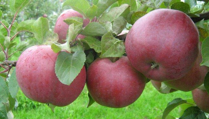 Kuras ir labākās ābeļu šķirnes ievārījumiem, sulai, biezeņiem un citiem gardumiem