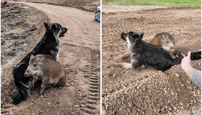 Soctīklus pārsteidz neparasts draugu pāris – suns un mežacūka