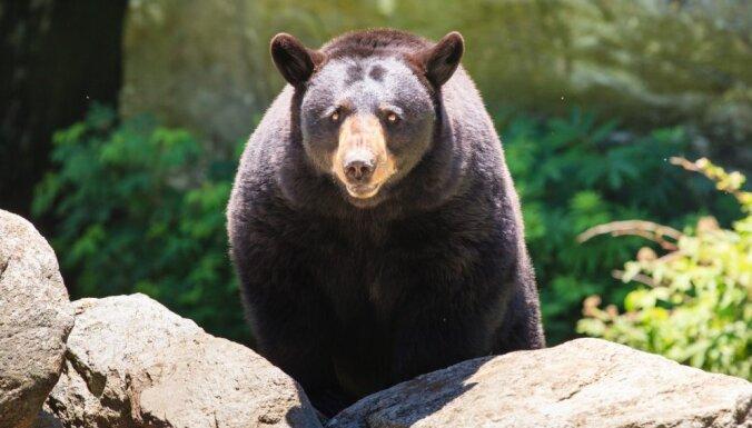 ВИДЕО: На российско-китайской границе медведи сломали пограничный забор, чтобы подраться