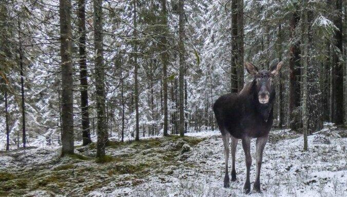 Foto: Aļņu puika Brūnītis devies ziemīgā pastaigā