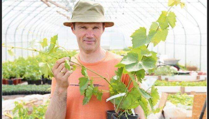 Pašiem savi vīnogu dārzi – padomi to stādīšanai siltumnīcā un atklātā laukā