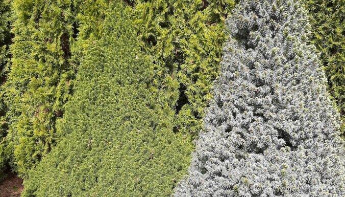 Glītais dārza akcents – miniatūrā Kanādas egle