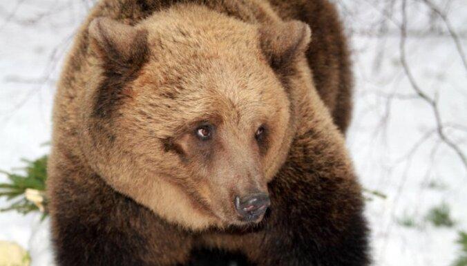 ВИДЕО: Тепловоз в Норильске сбил медведя