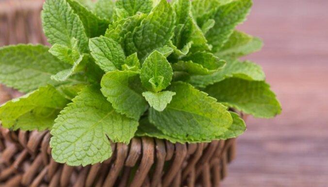 Botāniskais dārzs aicina izzināt jūlijā vācamos ārstniecības augus