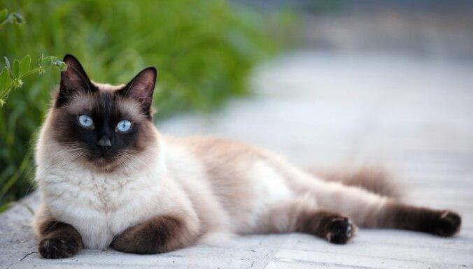 No Noasa šķirsta līdz nodedzinātai pilsētai: desmit senākās kaķu šķirnes