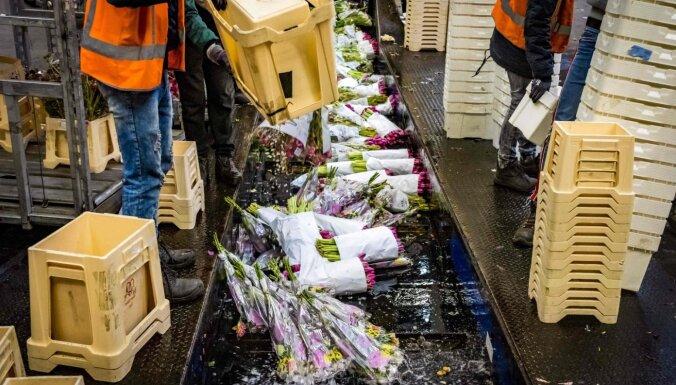 ФОТО. Крах цветочных магазинов – в Нидерландах уничтожают тысячи цветов