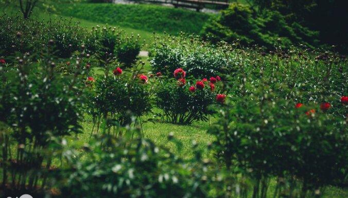Rododendru kupenas un ne tikai – fotopastaiga pa ziedošo Kalsnavas arborētumu