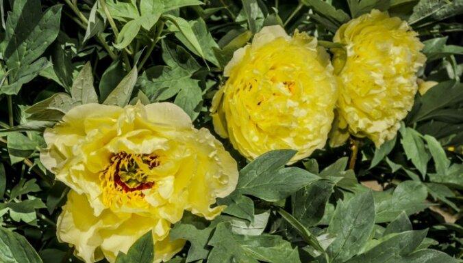 Puķu dobe dzeltenos toņos: septiņas cēlo peoniju ziedu šķirnes