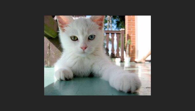 Balts kaķis. Foto: Pawel Opozda