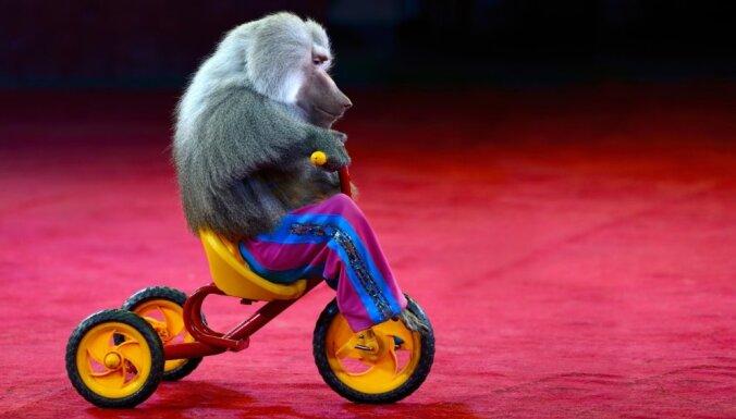 Латвия окончательно запретила зверей в цирке