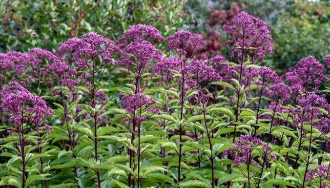 Ne tikai dīķmalu augs – iespaidīgās krastkaņepes