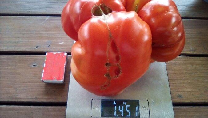 'Siltumnīcu kari': Padižojies ar brangāko tomātu, gurķi vai piparu