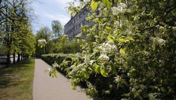 Rīgā sācies ievu ziedonis