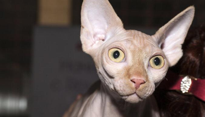 Vai no 'sfinksa' šķirnes kaķa nav alerģijas?