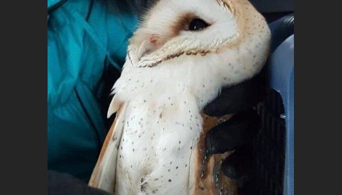 В Латвии нелегально торговали экзотическими животными: изъяты чучела, а также сервал и сипуха