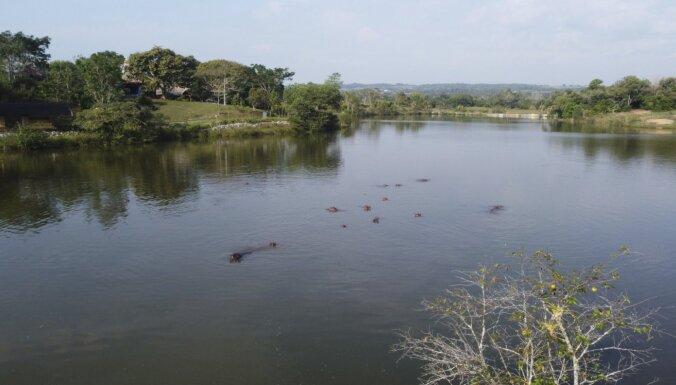 Vietējo mīlēti, bet drauds biodaudzveidībai – Eskobara nīlzirgi aizvien sāpīga problēma